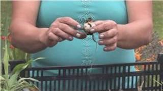 Flower Bulbs : How to Care for Iris Bulbs