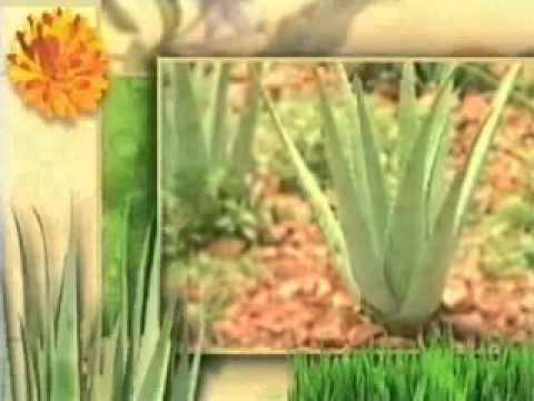 Forever Aloe Vera Plant to Product to YOU
