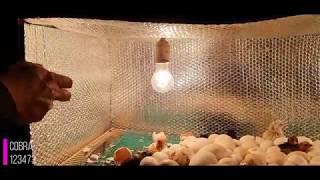 تجربة وضع بيض (الأوز) في فقاستي مع جمال العمواسي