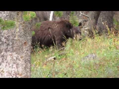 Wildlife in Yellowstone HD