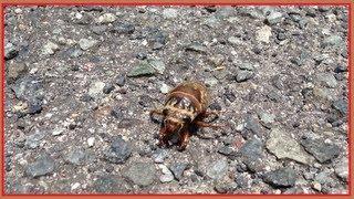 セミの幼虫を発見しました。もうすぐ夏ですね。