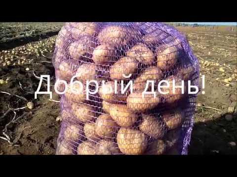Королева Анна. Калибр не крупный. | принудительной | производителя | правильное | картофеля | картофель | хранение | скарлет | объёмах | больших | оптом