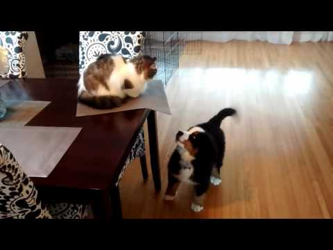 Bernese Mountain Dog Playing With The Cat
