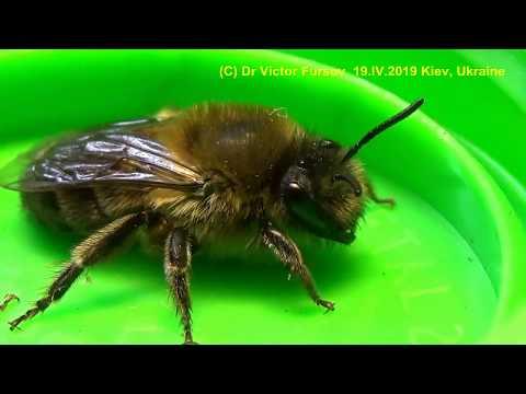 Пчелы-Близнецы? В Чем Отличия Земляной и Медоносной Пчел?