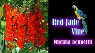 Mucuna bennettii , New Guinea creeper , scarlet jade vine  Rare flowering creeper