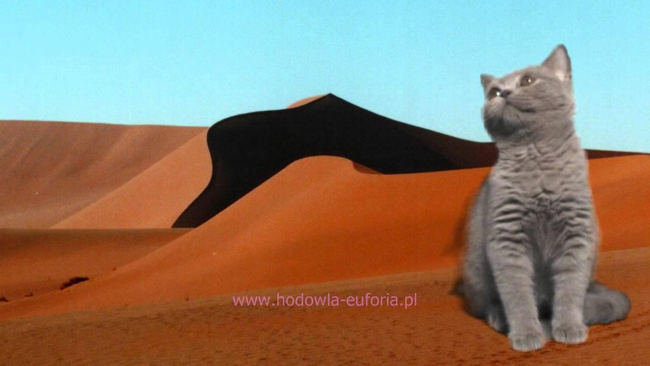 Oliver Euforia*PL hodowla kotow brytyjskich Szczecin - kocieta brytyjskie - koty brytyjskie