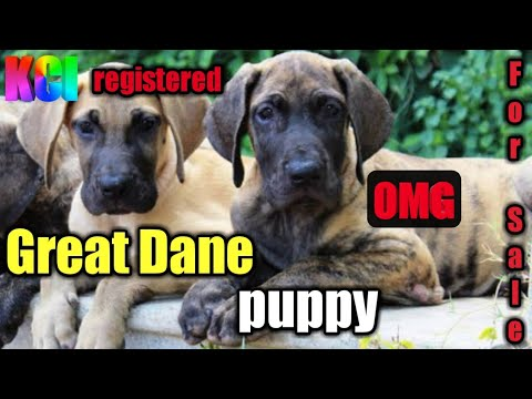 Kci Registered Great Dane Puppy For Sale Great Dane Puppy For