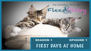 Maine Coon: First days at home  [Ep 1  Stg 1]