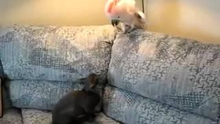 Кот против попугая.Схватка века.Прикол