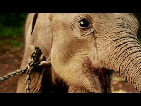 Earth Focus Episode 58 - Asian Elephants in Peril