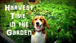 Harvest Time in the Garden