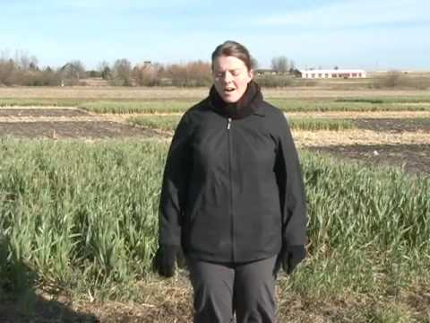 Adding a Cover Crop to a Corn-Soybean System (Part 1)