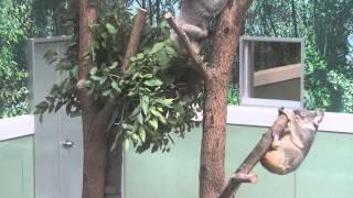 2014.11.26 鹿児島市平川動物公園にて撮影。 Koala at Kagoshima Munici...