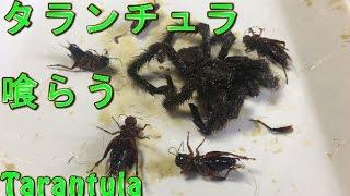 [閲覧注意]ペットで飼っていたタランチュラが死んだので・・・喰らう!!~Eat Tarantula~