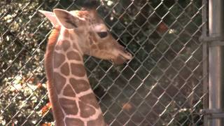 Baby Giraffe.mov thumbnail
