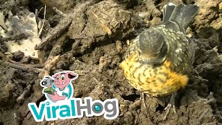Man Helps Baby Robin Find Tasty Worms || ViralHog
