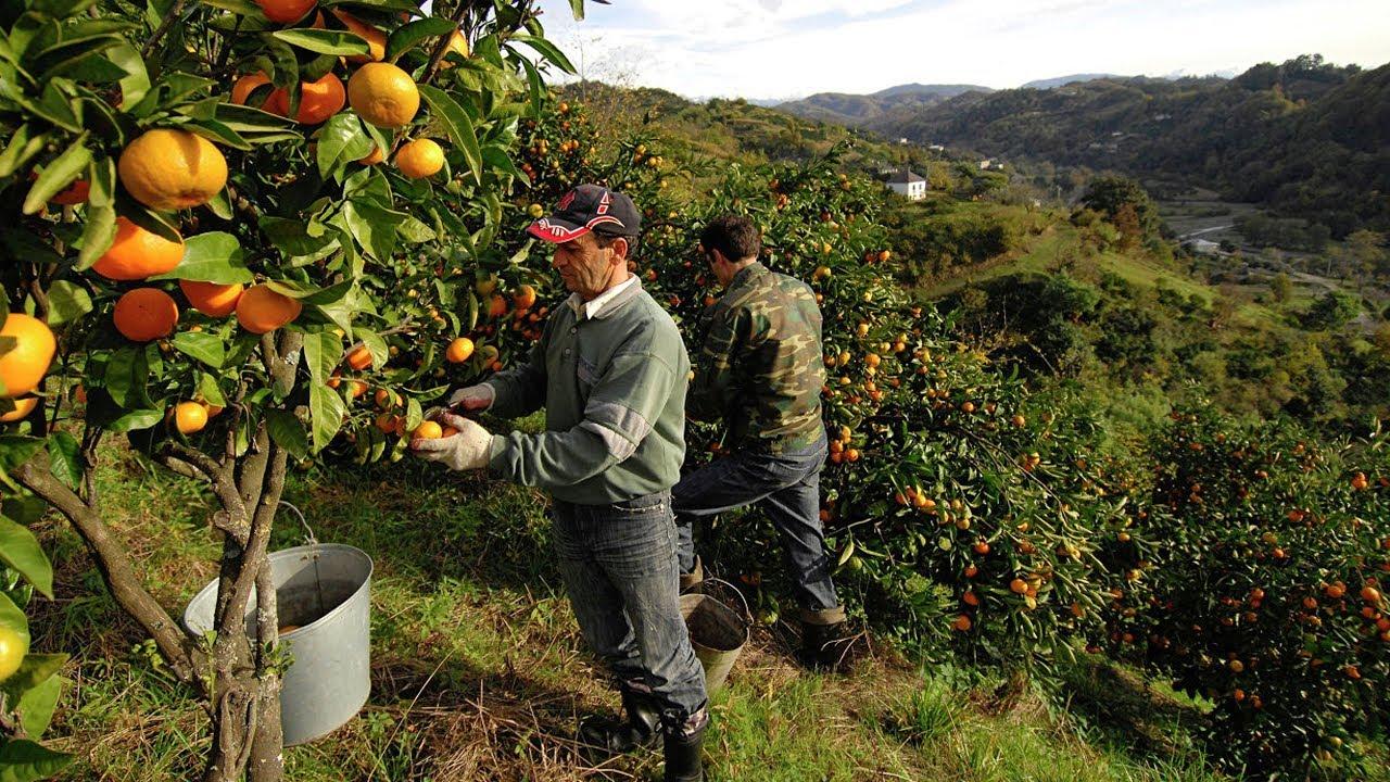В Грузии начался массовый сбор мандаринов