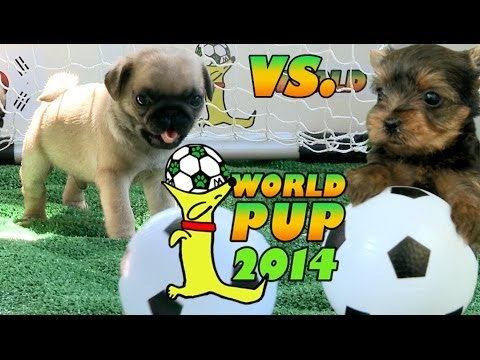 World Pup - Pug Puppies vs. Yorkies