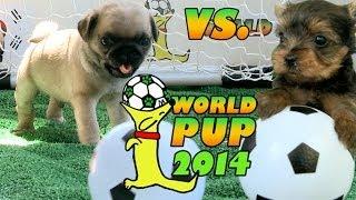 World Pup - Pug Puppies Vs. Yorkies