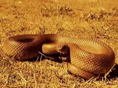 Mole Snake Strikes Camera