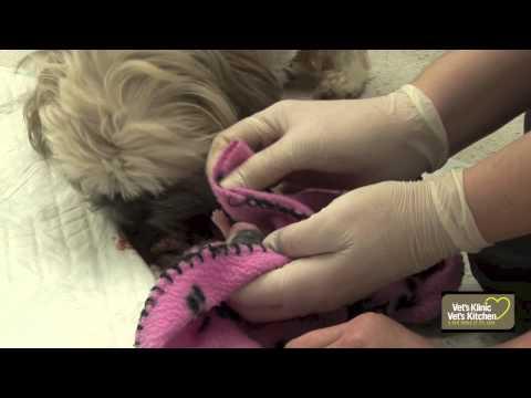 shih-tzu-dog-giving-birth-to-pups