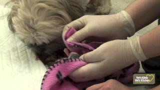 Shih Tzu Dog Giving Birth to Pups