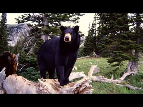 Black bear sounds