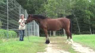 Deer Hollow River King - Welsh Cob **SALE PENDING