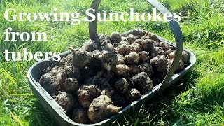 How to Grow Sunchokes (Jerusalem Artichokes) from Tubers