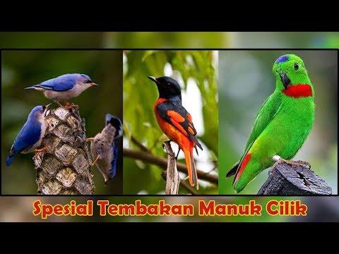 Audio Masteran Suara Burung Mantenan Betina Rambatan Serindit Nembak Cerecetan Tajam