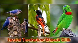 Gambar cover Audio Masteran Suara Burung Mantenan Betina Rambatan Serindit Nembak Cerecetan Tajam