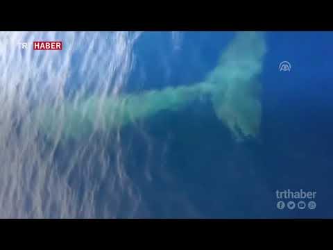 Nesli tehlike altında olan balina Fethiye'de kameralara takıldı