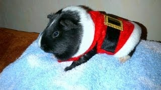 How to keep guinea pigs warm in winter. Hutch insulation tips