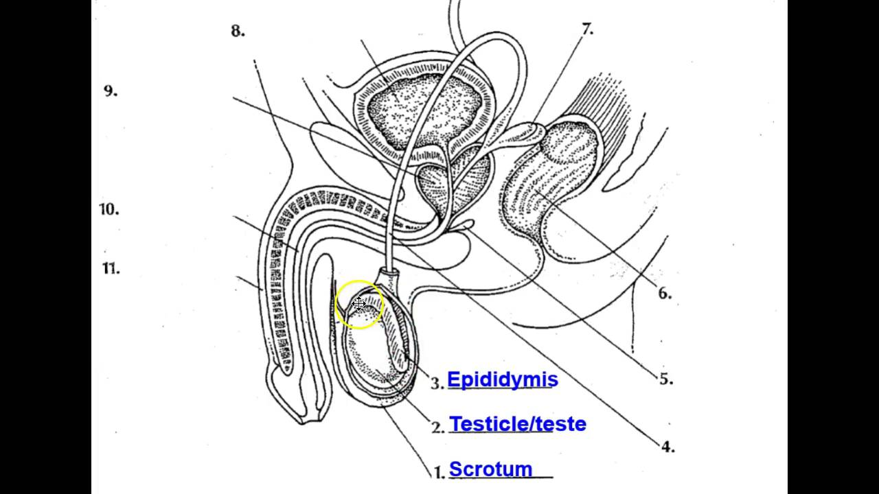 The Human Reproductive System Youtube