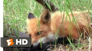 Grizzly Man (2/9) Movie CLIP - Sly Fox (2005) HD