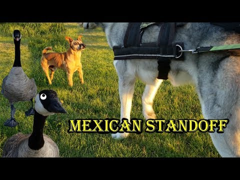 Alpha Macho Chihuahua Stands His Ground Against Husky | Old Man Lets Dog Go