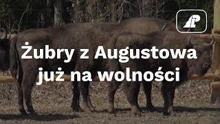 Żubry z Augustowa już na wolności