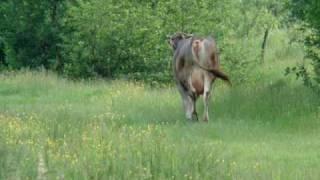 krowa na lace  ukraina borszawa 2010