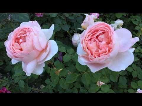 Розы Абрахам Дерби. Мэри Роуз. Candaluht. Самаритянин и др