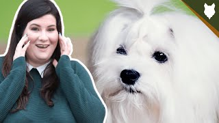 5 Reasons You SHOULD NOT GET A MALTESE!