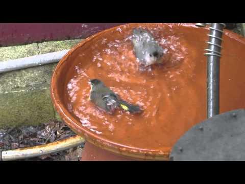 American Redstart 'Hogging' the 'Faucet Bath' - Part 1