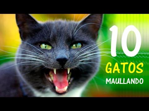 10 Gatos maullando Mucho y Fuerte para Molestar a tu Gato o Perro HD
