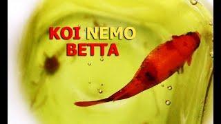 Nhận biết dòng cá Koi, Phân biệt Trống - Mái và Cách Dưỡng Trứng mau ép   Phần 1