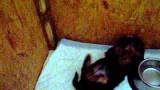 Vanilladog Kennel Yorkshire Terrier Kölykök Játszanak :) Puppies