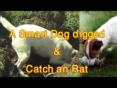 A smart dog dig & cached an Rat