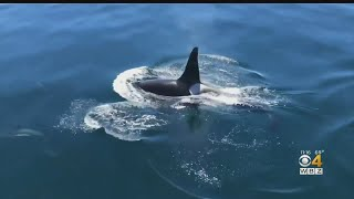 Video Shows Killer Whale Swimming With Dolphins Off Cape Cod