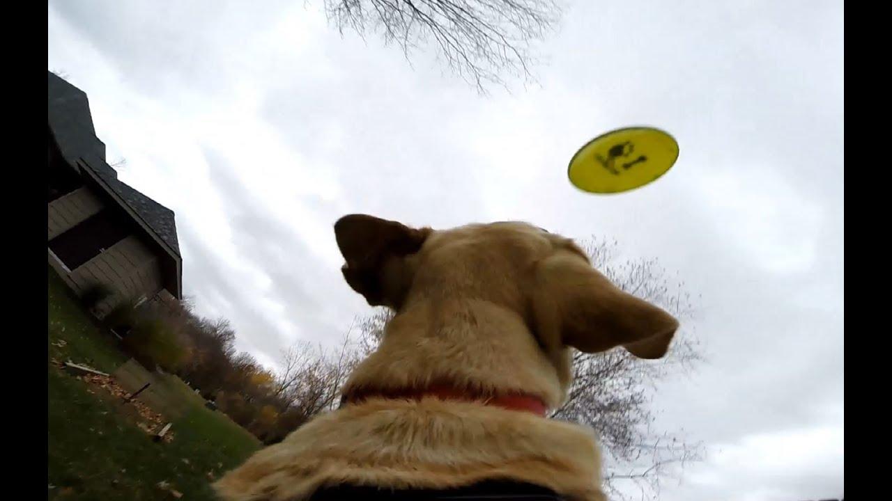 Frisbee With Gopro Fetch Dog Mount On Labrador Retriever