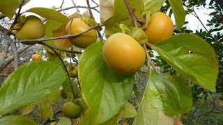 un arbre , le plaqueminier ; un fruit , le kaki
