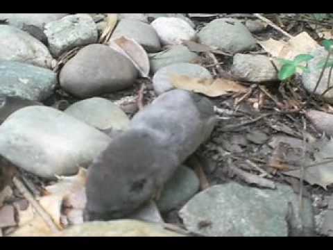 Short Tail Shrew Moves Through Rocks In New Jersey