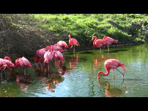 Caribbean Flamingos at ZSL Whipsnade Zoo - April 2012